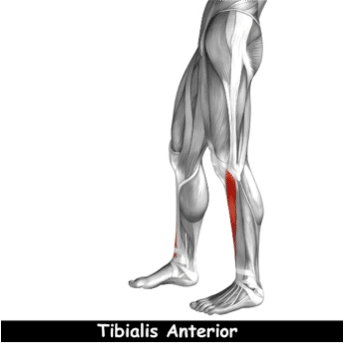 mobilité de la cheville