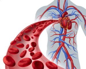 Représentation du système cardiovasculaire
